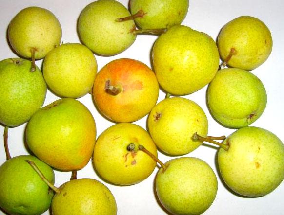 """Особоурожайный сорт груш, также именуемый """"дулькой"""""""